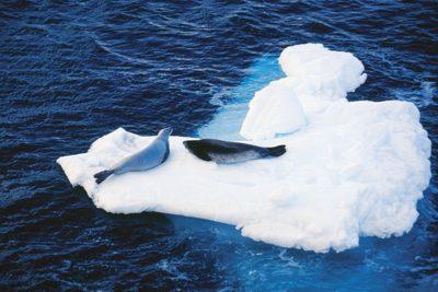 antarctica_animals2_029