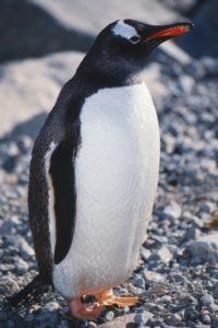 antarctica_animals_070