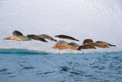 antarctica_animals_085