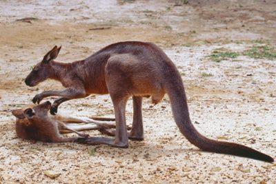australia_animals_064