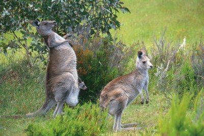 australia_animals_065