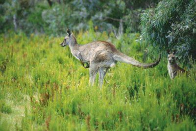 australia_animals_115