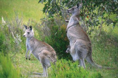 australia_animals_116