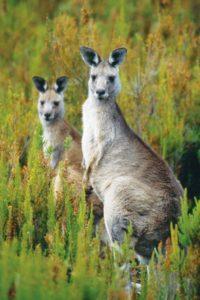 australia_animals_117