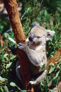 australia_animals_119
